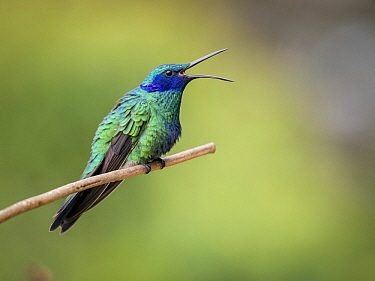 Sparkling Violet-ear (Colibri coruscans) calling, Sierra Nevada de Santa Marta, Colombia