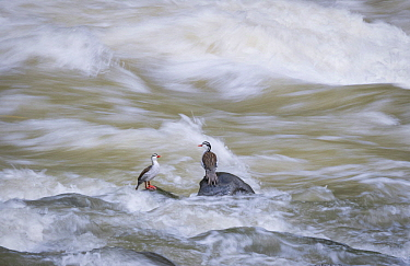 Torrent Duck (Merganetta armata) males in river, Cauca Valley, Colombia