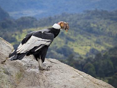 Andean Condor (Vultur gryphus) male, Purace National Park, Colombia