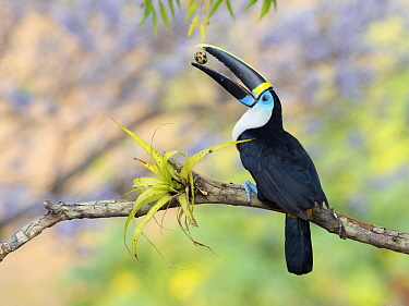 Cuvier's Toucan (Ramphastos cuvieri) feeding on egg, Antioquia, Colombia