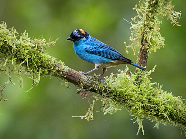Golden-naped Tanager (Tangara ruficervix), Cauca Valley, Colombia