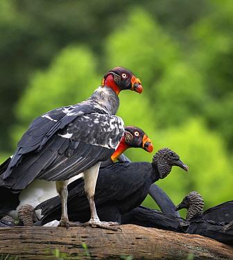 King Vulture (Sarcoramphus papa) pair with American Black Vultures (Coragyps atratus), Costa Rica