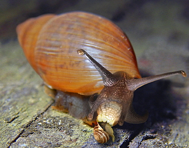 Rosey Wolfsnail (Euglandina rosea) feeding on snail, invasive species, Hawaii