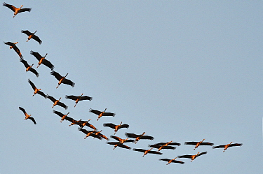 Common Crane (Grus grus) flock flying, Champagne, France