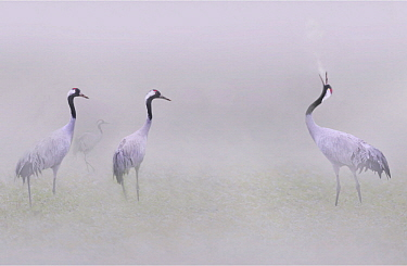 Common Crane (Grus grus) courting in fog, Champagne, France