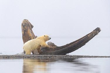Polar Bear (Ursus maritimus) cub at whale jaw bone, Arctic National Wildlife Refuge, Alaska