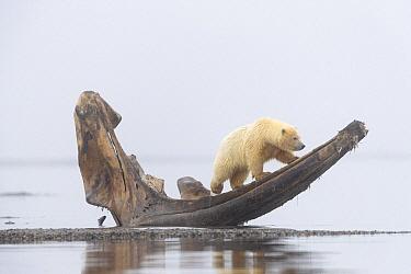 Polar Bear (Ursus maritimus) cub on whale jaw bone, Arctic National Wildlife Refuge, Alaska