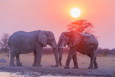 African Elephant (Loxodonta africana) pair at sunset, Nxai Pan National Park, Bostwana