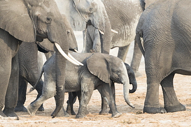 African Elephant (Loxodonta africana) herd with calves, Chobe River, Chobe National Park, Bostwana