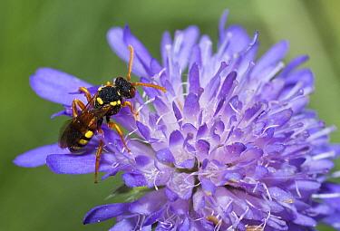 Nomad Bee (Nomada fucata) on Scabiosa (Scabiosa sp), Vosges du Nord National Park, France