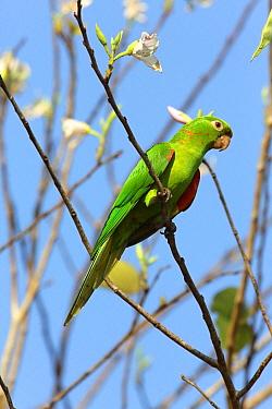 White-eyed Parakeet (Aratinga leucophthalmus), Pantanal, Brazil