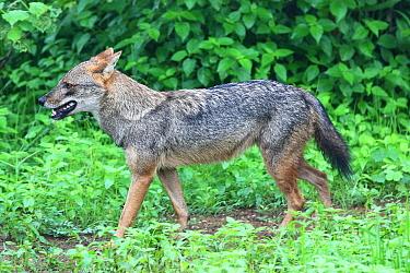 Golden Jackal (Canis aureus), Sri Lanka