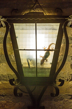 Mediterranean Gecko (Hemidactylus turcicus) in lamp at night, Catalonia, Spain