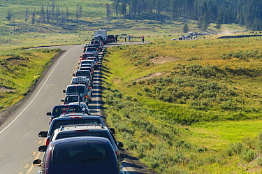 American Bison (Bison bison) herd with tourist cars, Yellowstone National Park, Wyoming
