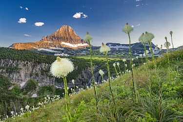 Bear Grass (Xerophyllum tenax) flowering, Mount Reynolds, Glacier National Park, Montana