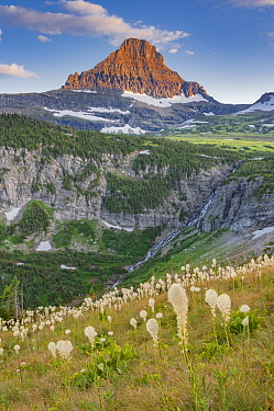 Bear Grass (Xerophyllum tenax) flowering, Mount Reynolds, Glacier National Park, Montana