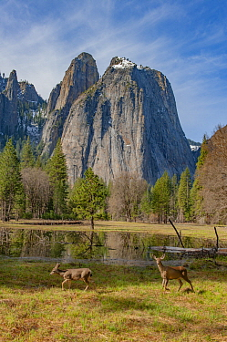 Mule Deer (Odocoileus hemionus) females in meadow, Yosemite National Park, California