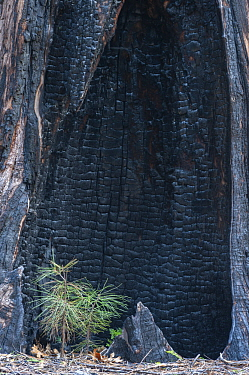 Ponderosa Pine (Pinus ponderosa) new sapling with burned tree behind, Yosemite National Park, California