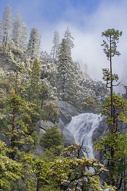 Incense Cedar (Calocedrus decurrens) trees and waterfall, Cascade Creek, Yosemite National Park, California