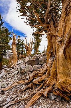 Great Basin Bristlecone Pine (Pinus longaeva) trees, Great Basin National Park, Nevada