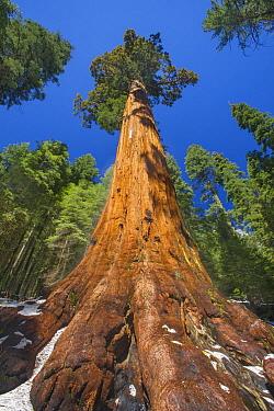 Giant Sequoia (Sequoiadendron giganteum), Mariposa Grove, Yosemite National Park, California