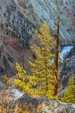 Conifers, Grand Canyon of Yellowstone, Yellowstone River, Yellowstone National Park, Wyoming