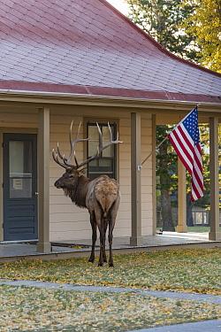 Elk (Cervus elaphus) bull near building, Yellowstone National Park, Wyoming