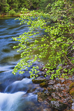 Mountain Dogwood (Cornus nuttallii), Merced River, Yosemite National Park, California