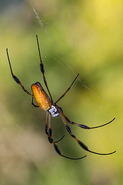 Banana Spider (Nephila clavipes), Alexander Springs Recreation Area, Florida