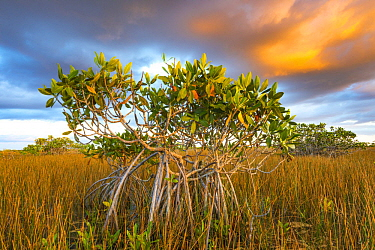 Red Mangrove (Rhizophora mangle) and Sawgrass (Cladium sp), Everglades National Park, Florida