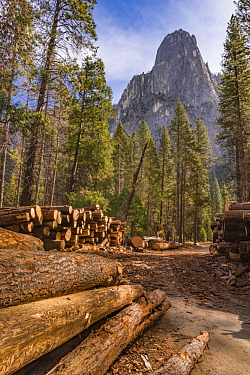 Ponderosa Pine (Pinus ponderosa) dead trees killed by Mountain Pine Beetle (Dendroctonus ponderosae), Yosemite National Park, California
