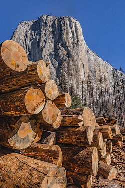 Ponderosa Pine (Pinus ponderosa) dead trees killed by Mountain Pine Beetle (Dendroctonus ponderosae), El Capitan, Yosemite National Park, California