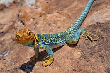 Collared Lizard (Crotaphytus collaris) male, Arches National Park, Utah