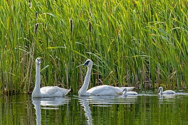 Trumpeter Swan (Cygnus buccinator) parents and cygnets, National Elk Refuge, Wyoming