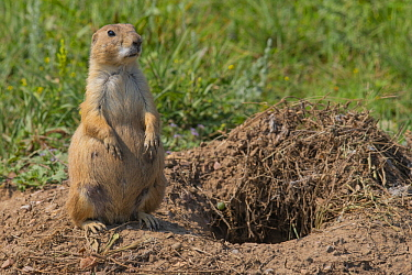 Black-tailed Prairie Dog (Cynomys ludovicianus) at burrow, Wind Cave National Park, South Dakota