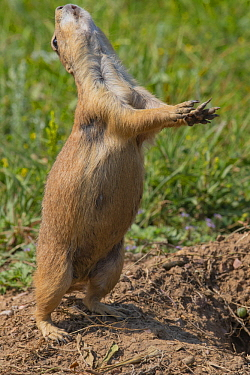 Black-tailed Prairie Dog (Cynomys ludovicianus) in territorial display, Wind Cave National Park, South Dakota