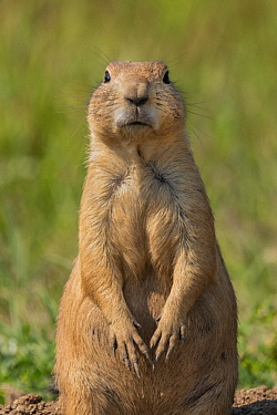 Black-tailed Prairie Dog (Cynomys ludovicianus), Wind Cave National Park, South Dakota