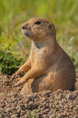 Black-tailed Prairie Dog (Cynomys ludovicianus) in burrow, Wind Cave National Park, South Dakota