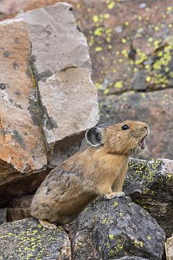 American Pika (Ochotona princeps) alarm calling, Bridger-Teton National Forest, Wyoming