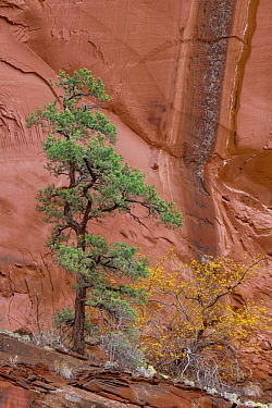 Ponderosa Pine (Pinus ponderosa) tree and cliff, Grand Staircase-Escalante National Monument, Utah