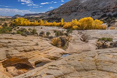 Fremont Cottonwood (Populus fremontii) trees in autumn with potholes, Grand Staircase-Escalante National Monument, Utah