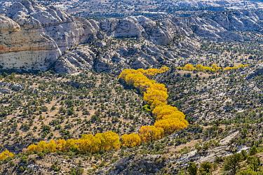 Cottonwood (Populus sp) trees in riverine dip in autumn, Grand Staircase-Escalante National Monument, Utah