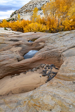 Fremont Cottonwood (Populus fremontii) trees and potholes in autumn, Grand Staircase-Escalante National Monument, Utah