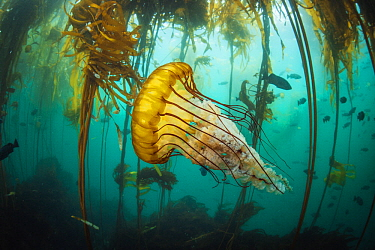 Pacific Sea Nettle (Chrysaora fuscescens) jellyfish in kelp forest, Monterey Bay, California