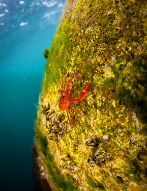 Pelagic Red Crab (Pleuroncodes planipes), indicator of El Nino, California