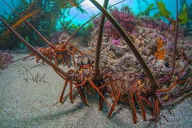 California Spiny Lobster (Panulirus interruptus) trio, La Jolla, California