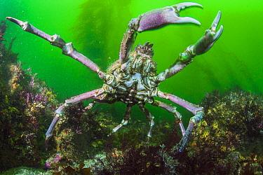 Sheep Crab (Loxorhynchus grandis), San Diego, California