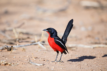 Crimson-breasted Gonolek (Laniarius atrococcineus), Kgalagadi Transfrontier Park, South Africa