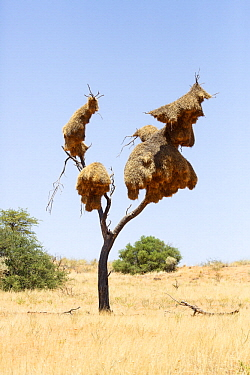 Sociable Weaver (Philetairus socius) nest, Kgalagadi Transfrontier Park, South Africa