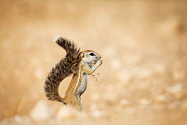 Cape Ground Squirrel (Xerus inauris) feeding, Kgalagadi Transfrontier Park, South Africa
